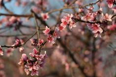 Peach trees blossom at the Studebaker Farm in Blumenthal, Texas, Monday, March 19, 2013. According to owner Russ Studebaker, the Hill Country peach crop should be a good one this year. Blumenthal is just east of Fredericksburg, texas on U.S. Highway 290. Photo: JERRY LARA, San Antonio Express-News / © 2013 San Antonio Express-News