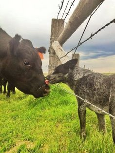 I think this is an Australian cattle dog giving dog kisses to a cow.  What a good shepherd to these cattle.