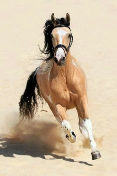 Buckskin horse:) My favorite color Horses And Dogs, Wild Horses, Animals And Pets, Cute Animals, Most Beautiful Animals, Beautiful Horses, Beautiful Creatures, Horse Photos, Horse Pictures