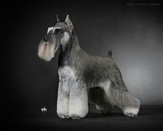 Beautiful work of art! LOVE grooming this breed :)