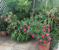 Fuchsia, Roses, Camellia and Gardenia - no wonder this corner of clients terrace always a conversation topic
