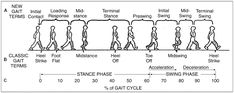 Figure 6-2. Gait Cycle: A: New Gait Terms.