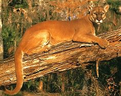 dieren cougar women Search the world's information, including webpages, images, videos and more google has many special features to help you find exactly what you're looking for.