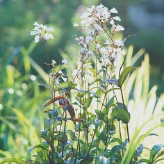 The Best Perennials for Your Yard: 'Husker Red' Penstemon is another of my favorite native plants with beautiful purple - red foliage and white flowers that bloom all summer long.