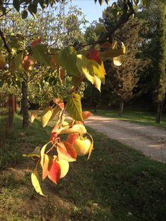 Persimmon tree in autumn