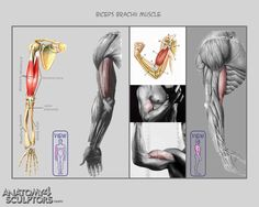 Biceps brachii muscle ✤    CHARACTER DESIGN REFERENCES   キャラクターデザイン • Find more at https://www.facebook.com/CharacterDesignReferences