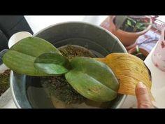 Orkide kurtarma2, bakımı, gübreleme ve sulaması . Orchid care, watering & feeding. Save sick orchids - YouTube