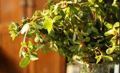 Wenn dieses Unkraut bei dir im Garten wächst, kannst du dich glücklich schätzen. Denn hierfür ist es perfekt geeignet.