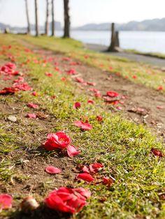 佐鳴湖 ツバキの別れ Farewell of camellia Hamamatsu, Camellia, Japan, City, Cities, Japanese