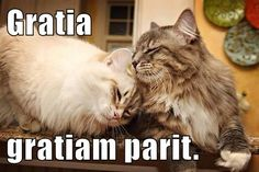 Here's a special Thanksgiving edition with some LatinLOLCats about gratia and giving thanks, along with a couple of LOLCats about feasting too!   GRATIA: Thanks!  Gratia gratiam parit. Thanks give rise to thanks.
