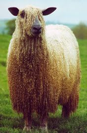 Wensleydale Sheep are awesome = I would love one of these think of the gorgeous wool you could have!!!