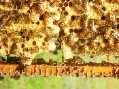 Swarm cell ahttp://www.bushfarms.com/bees.htm 'we need clean wax.' natural comb.