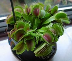20 Seeds Potted Venus Flytrap Plant Seeds Dionaea Muscipula Giant Clip Seeds Easy to Grow Carnivorous Plant Unusual Plants, Exotic Plants, Weird Plants, Unusual Flowers, Venus Fly Trap Care, Venus Fly Trap Terrarium, Pitcher Plant, Fly Traps, Tree Seeds