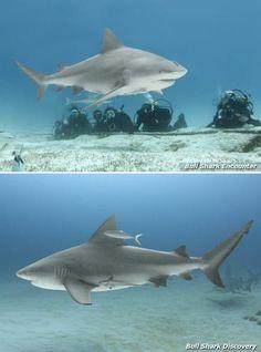 Bull Shark Dive, November to March, Playa del Carmen. #Mexico