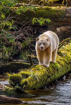 """Kermode Bear - Canada, British Columbia, Inside Passage by Jaynes Gallery The Kermode bear, also known as the """"spirit bear"""", is a rare subspecies of the American black bear living in the Central and. Spirit Bear, Spirit Animal, Bear Pictures, Animal Pictures, Bear Photos, British Columbia, Photo Ours, Animals And Pets, Cute Animals"""