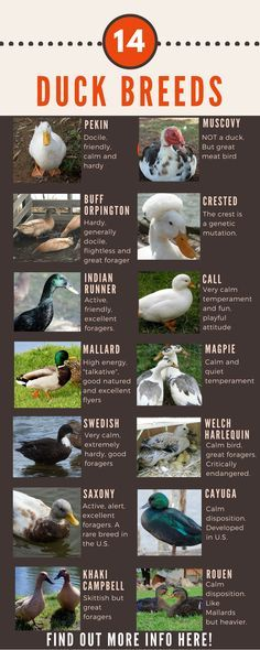 Duck Breeds Chart of 14 ducks that people can own in their own back yard. Find out more about each breed right here!