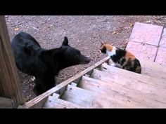 cat scares away bear.  Love this. Chillin on the stoop, don't mess!  This is funny.  Watch.
