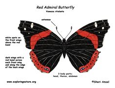 """Butterfly (Red Admiral)"""" Exploring Nature Educational Resource ©2005-2016. Description from exploringnature.org. I searched for this on bing.com/images"""