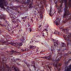 live shrimp crevettes vivantes