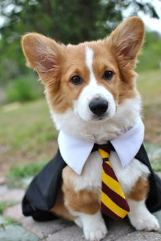 """corgicontest: """" Teddy Lupin enjoying a very rainy lovely spring day in his backyard at Hogwarts School of Witchcraft and Wizardry in his mom's old halloween costume Gryffindor robe. Submitted by..."""