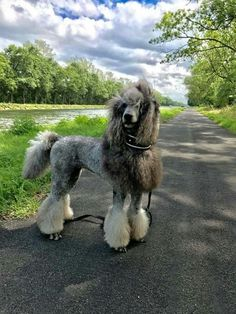 """Get great tips on """"poodle pups"""". They are actually on call for you on our internet site. Poodle Grooming, Dog Grooming, Poodle Haircut, Poodle Cuts, Dog Haircuts, Silly Dogs, Best Dog Breeds, I Love Dogs, Dog Lovers"""