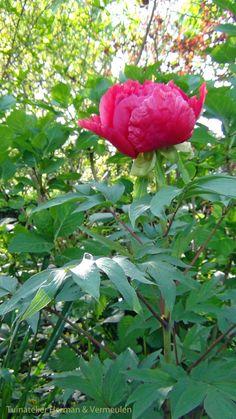 Boompioen (Paeonia suffruticosa) in bloei. Tree peony,