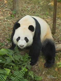 Panda - Flickr - Photo Sharing!