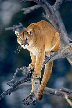 So Beautiful Breathtaking Animals cougar