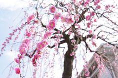 Les sakuras fleurissent ! nullpo, Japan