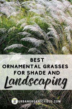 Shrubs For Shade, Tall Shade Plants, Planters For Shade, Shrubs For Privacy, Shade Grass, Shade Garden Plants, Shade Perennials, Grasses For Pots, Ornamental Grasses For Shade