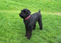 "black terrier - ""Google"" paieška"