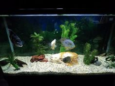 South American Freshwater Aquarium Fish