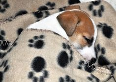 Nitey night Beautiful Friends:) Jack Russell Pup,sleeping (by S Hutchinson)