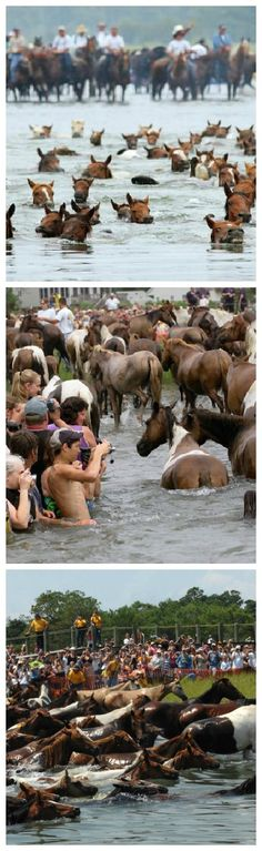 Chincoteague Island's Wild Pony Swim -- a Virginia Tradition ... http://blog.escapetothesoutheast.com/blog/escape-to-the-southeast-2/chincoteague-islands-wild-pony-swim-a-virginia-tradition