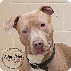 Urgent! Longest shelter resident in Troy, OH - Pit Bull Terrier. Meet Tyler, a dog for adoption. http://www.adoptapet.com/pet/13072816-troy-ohio-pit-bull-terrier