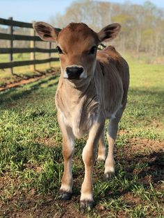 Our Mini Jerseys – Mini Jersey Cow Cute Baby Cow, Baby Cows, Cute Cows, Cute Baby Animals, Animals And Pets, Baby Elephants, Wild Animals, Cow Photos, Cow Pictures