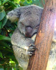 it's so fluffy I'm gonna die! - Currumbin Wildlife Sanctuary #australia #koala #currumbin #currumbinwildlifesanctuary #qld #queensland #travel #cuddly #areyoukoalafied #cute #fluffy #sleeping #goldcoast #notabear by passportodyssey http://ift.tt/1X9mXhV