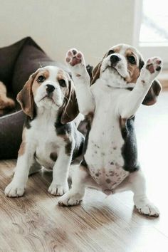 Are you interested in a Beagle? Well, the Beagle is one of the few popular dogs that will adapt much faster to any home. Whether you have a large family, p Cute Baby Animals, Animals And Pets, Funny Animals, Images Of Cute Animals, Funny Dogs, Beagle Puppy, Baby Beagle, Beagle Hound, Baby Dogs