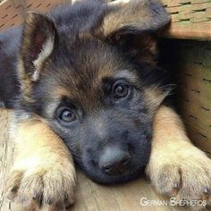 Wicked Training Your German Shepherd Dog Ideas. Mind Blowing Training Your German Shepherd Dog Ideas. Gsd Puppies, Cute Dogs And Puppies, Doggies, Gsd Dog, Bulldog Puppies, Dog Behavior, German Shepherd Dogs, Baby German Shepherds, Beautiful Dogs