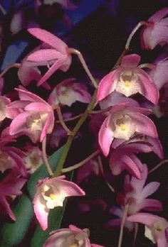 Australian native : Dendrobium 'Bardo Rose' - a beautiful and easily grown hybrid of D.falcorostrum and D.kingianum.