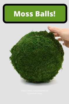 Natural Moss Balls and they make a truly natural setting for your displays. Either displayed in a pot or planter is perfect with some other preserved plants or wood materials. Also looks great hanging from a wall or ceiling and makes amazing acoustic spheres for music rooms ! They require now watering or maintenance of any kind. #mossproducts #mossballs #preservedmoss #mossplanters #naturedesign #interiorideas #houseinterior #officeinterior #officespace #commercialdesign #livingroomideas Money Tree Bonsai, Money Trees, Board Rooms, Moss Letters, Moss Decor, Ivy Wall, Moss Wreath, Moss Art, Preserved Roses