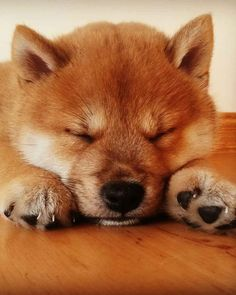 Shiba Inu puppy taking a quick nap before he is woken from a deep sleep by his brother who is just out of the picture