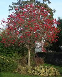Rowan Tree - Pot (Sorbus aucuparia) The traditional rowan, also known as 'Mountain Ash', is a fast growing and incredibly popular tree native to the UK. It's popularity is well merited as it produces an unrivalled autumn display of brilliant red berries w Deciduous Trees, Flowering Trees, Garden Trees, Garden Plants, Fruit Garden, Mountain Ash Tree, Media Sombra, Popular Tree, Gardens