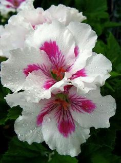 Geranium-Martha Washington