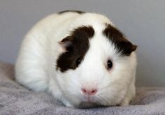 This Little Piggy & Me - a rescue just for guinea pigs! #pets #animals #guineapigs