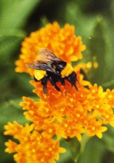 Bumblebee on Milkweed (Asclepias tuberosa)                                                   Photo by CS Lent