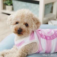 💛 お散歩行きたいのに風が凄いよ〜😰 ・ ・ #福 #愛犬 #犬 #プードル #トイプードル #タイニープードル #dog #poodle #toypoodle #大切な家族 #最愛の息子 #愛おしい #大好き #幸せ #目に入れても痛くない #ワンコなしでは生きていけません会 #ふわもこ部 #ママミング #適当