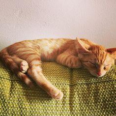 [Photo by lorenzo_magnolfi on Instagram] Saetta #gatto #cat #puppy #piccolo #cucciolo #rosso #red #tigrato #sleeping #sleep #sonno #riposino #pomeriggio #afternoon #poltrona #sofa #cucina #kitchen #verde #green #italia #Italy #tuscany #toscana #calenzano #animals #animale #domestico #felino
