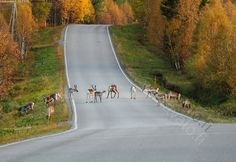 Reindeer on the road.