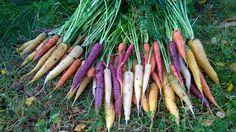 Porkkanoita..